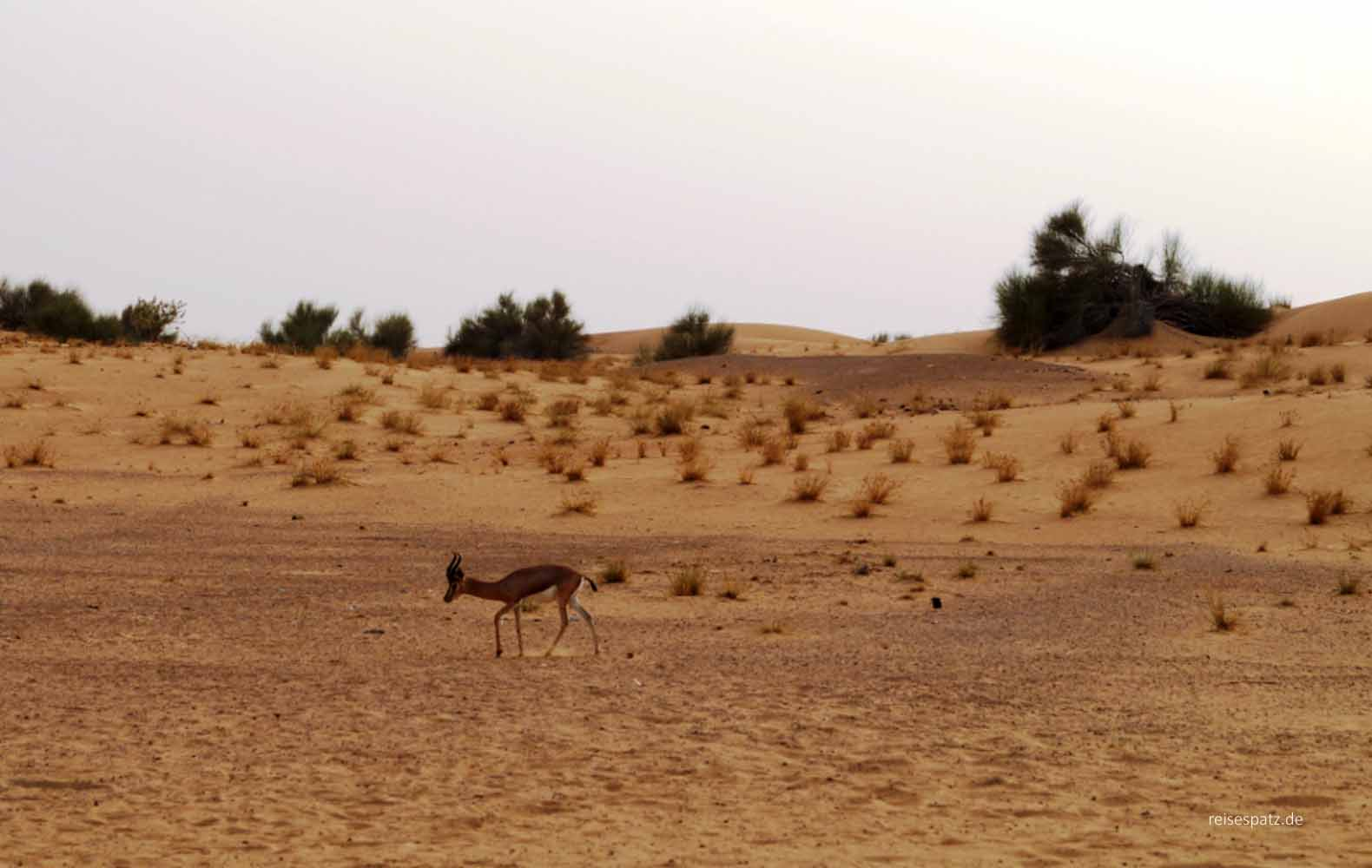 Gazelle in Dubai