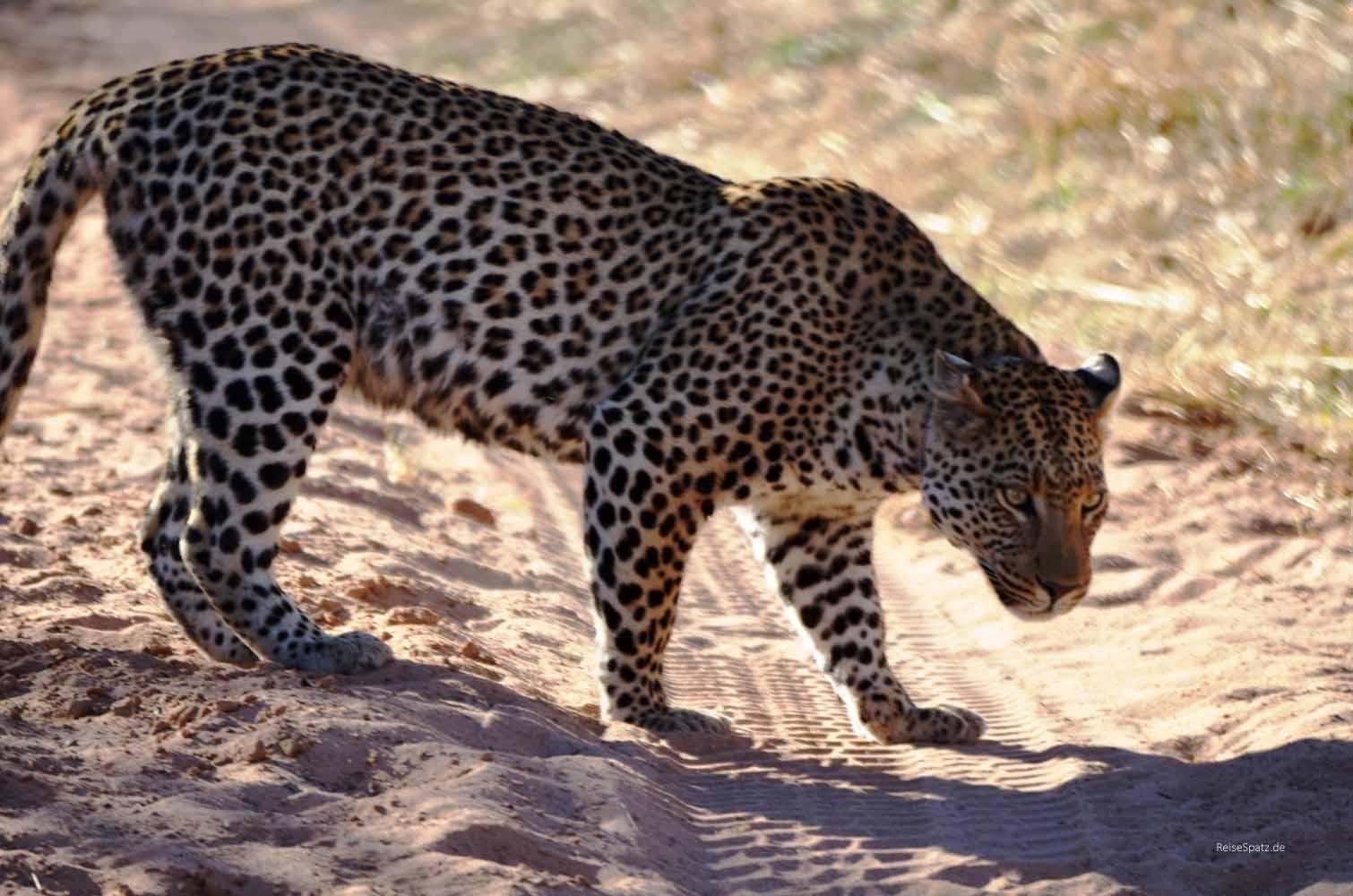 Leopard auf Safari