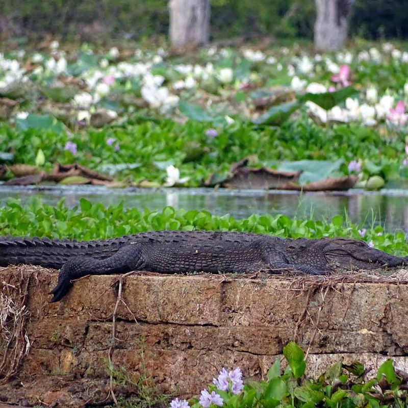 Yala Nationalpark - Krokodile