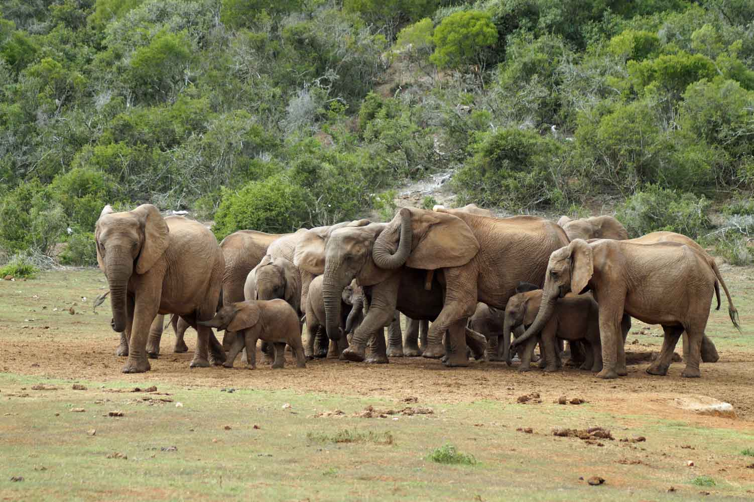 Addo Elephant National Park - Elefanten