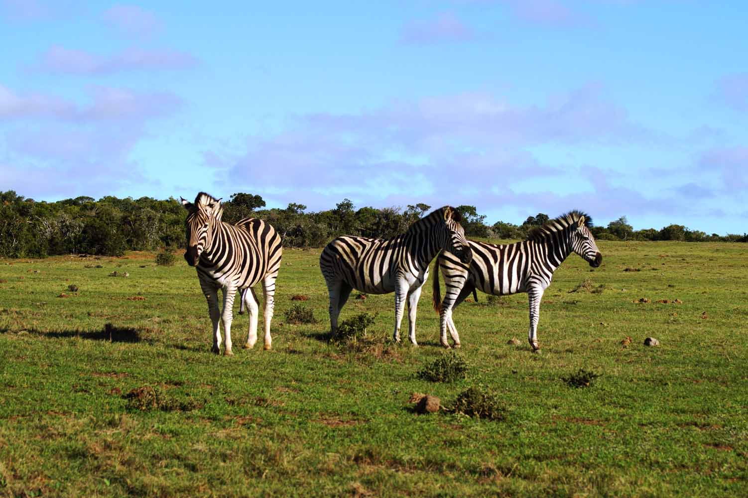 Zebras im Addo Nationalpark