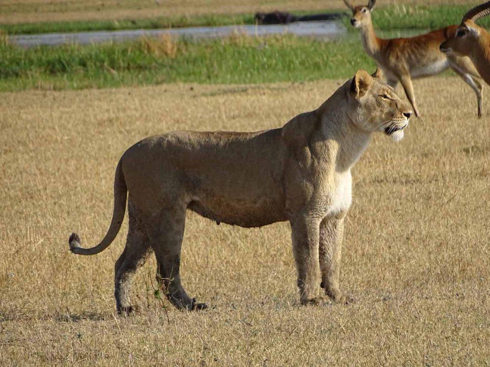 Löwenweibchen im Okavango Delta