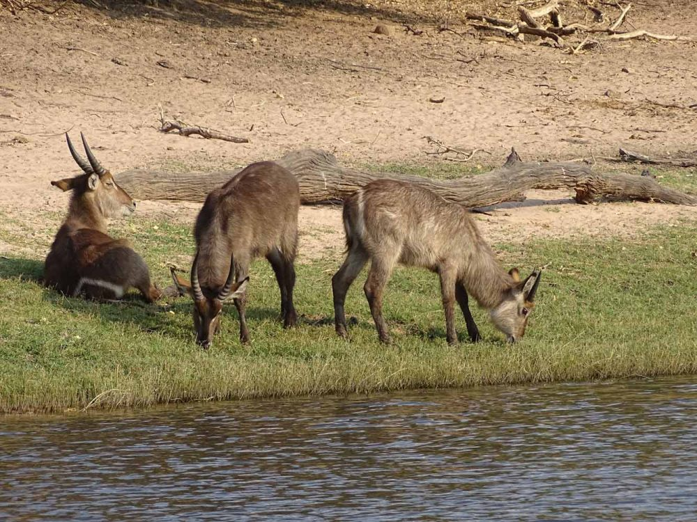 Wasserböcke im Chobe Nationalpark